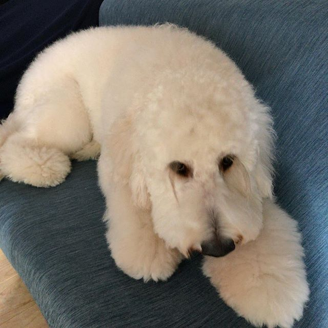 新しいソファーカバーがお気に入り#ゴールデンドゥードル #goldendoodle #dogstagram #犬のいる暮らし