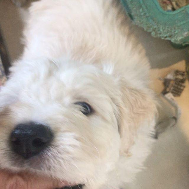 1年半前に初めて会ったモカ #湘南ドゥードル #ゴールデンドゥードル #犬のいる暮らし #goldendoodle #dogstagram
