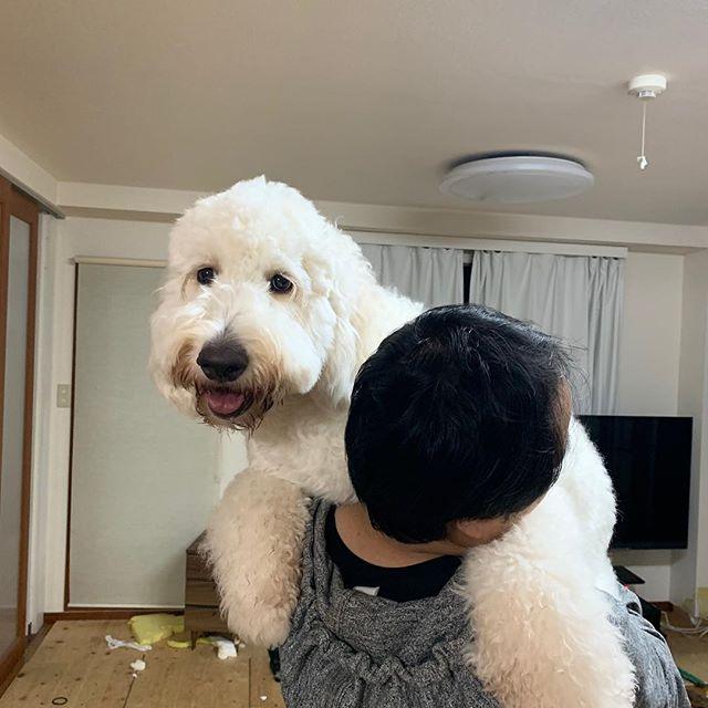 だっこ大好き#goldendoodle #dogstagram #ゴールデンドゥードル #犬のいる暮らし