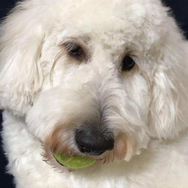 トリミングで疲れたモカ。ボール遊びしたいけど、足元がおぼつかない。 #ゴールデンドゥードル #goldendoodles #doodlesam #大型犬のいる生活 #湘南ドゥードル