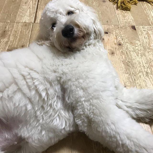 遊び疲れた。寝る。#あそんだあそんだ #ゴールデンドゥードル #大型犬のいる生活 #湘南ドゥードル #goldendoodles #doodlesam #doodle