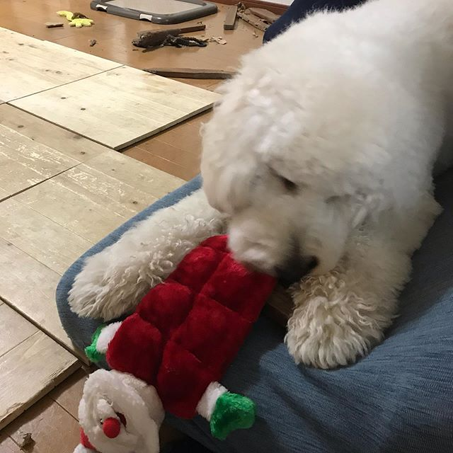 生贄サンタ、何分持つか?#doodle #ゴールデンドゥードル #ドゥードル #大型犬のいる生活 #dogstagram #湘南ドゥードル
