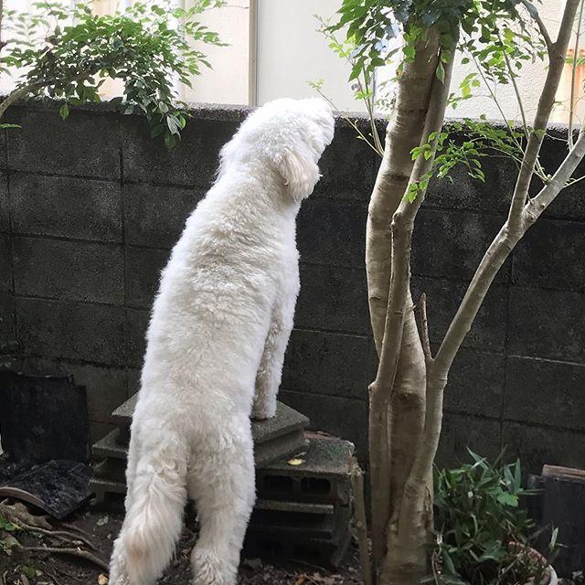 正月、実家の庭を探索するモカ。壁に届きそう。#goldendoodle #doodle #ゴールデンドゥードル #湘南ドゥードル #大型犬のいる暮らし #dogstagram