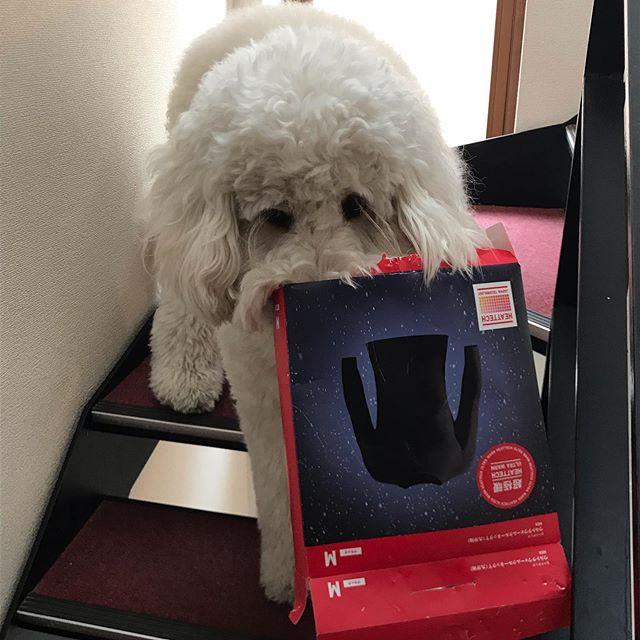 いや、怒らないから、それぐらい。#狙っていたのは #ユニクロのプラ箱はかみごたえ #@ユニクロ #goldendoodle #ゴールデンドゥードル #湘南ドゥードル #犬のいる生活  #