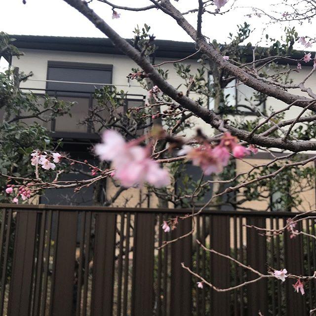長めの散歩、早咲きの桜、モカも洗濯#goldendoodle #doodle #ゴールデンドゥードル #ドゥードル #湘南ドゥードル #大型犬のいる暮らし #モフモフ #もふもふのお友達