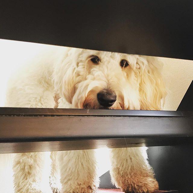 お留守番隊長 #goldendoodle #ゴールデンドゥードル #湘南ドゥードル #ドゥードル #大型犬のいる生活